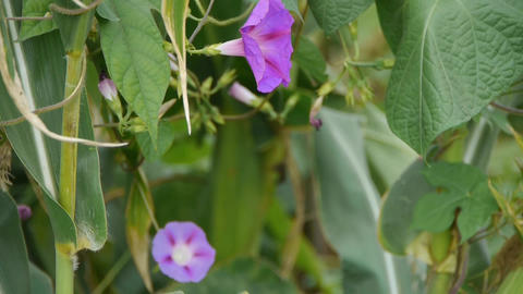 morning glory in lush Corn leaves.agriculture farmland at... Stock Video Footage