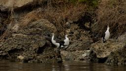 Australian Cormorant / Darter Birds On a River Bank Stock Video Footage