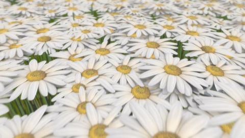 Daisy Field Stock Video Footage