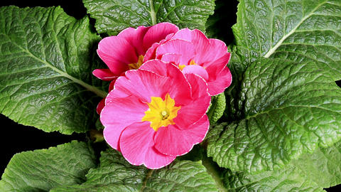 Flowering pink primula on the black background (Primula vulgaris. Bright pink) Footage