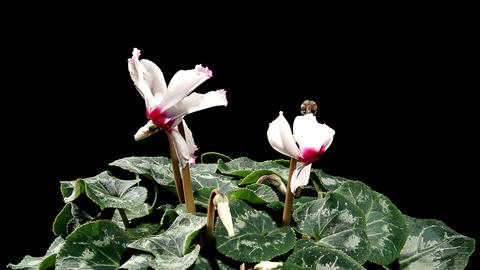 Flowering white cyclamen on the black background (Cyclamen Midori White with Eye) Footage