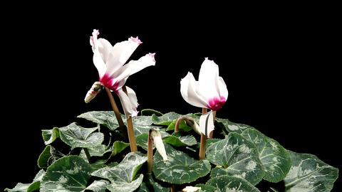 Flowering white cyclamen on the black background... Stock Video Footage