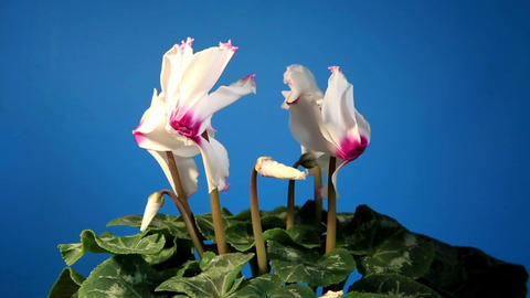 Flowering white cyclamen with blue chroma key (Cyclamen... Stock Video Footage