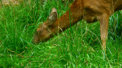 doe eating grass Footage