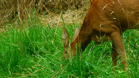 doe eating grass Stock Video Footage