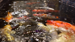 Fish colored carps koi swim in the pool Footage