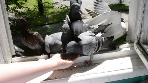 Feeding birds pigeons from hand on summer sunny day Footage