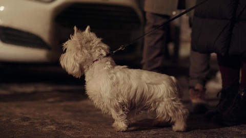 Cute small white dog stand next to owner outside in cold winter street Footage