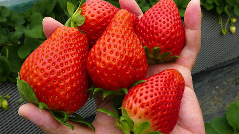 Childs hand holding handful of strawberries Footage
