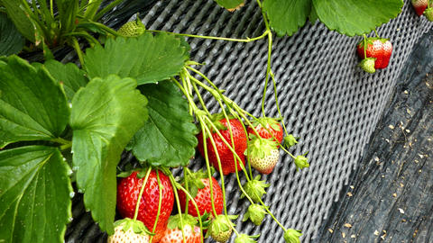 Strawberry patch in greenhouse Live影片