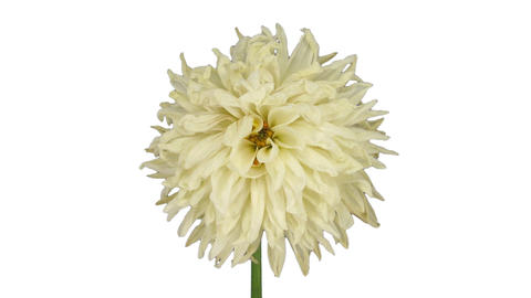 Time-lapse of dying white dahlia Archivo