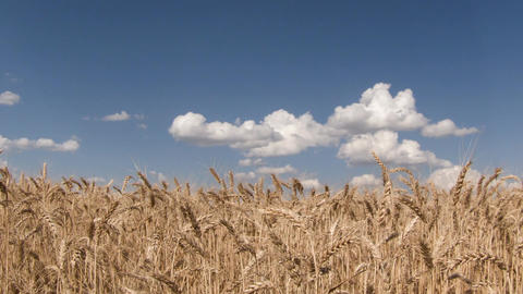 Farm field of rye timelapse with sky clouds GIF