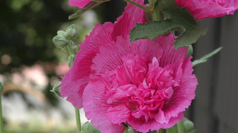 Flower Malva double pink color ライブ動画