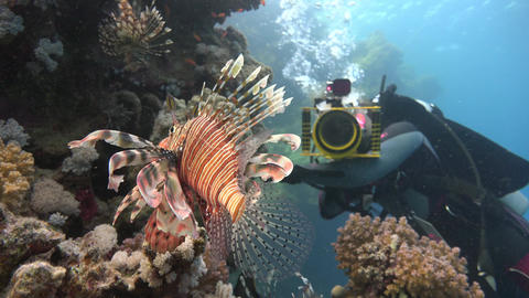 Underwater videographer, shooting lionfish. Diving in the Red sea near Egypt Footage