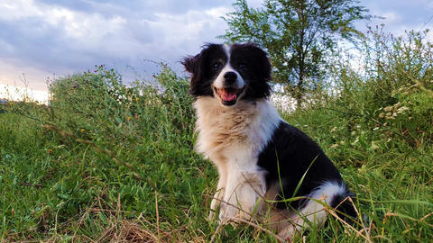 Happy border collie dog seated on the grass in the middle of the nature looking around enjoying the Footage