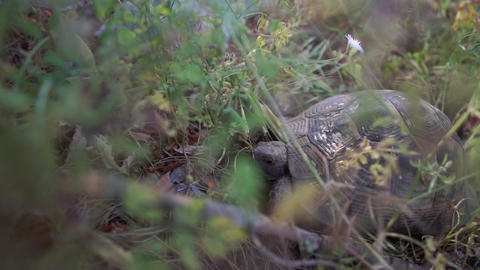 The big brown turtle is in the grass in slow motion Live Action