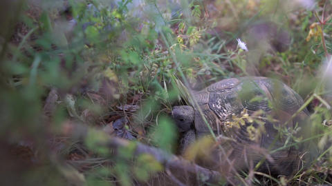 The old brown turtle is in the grass in slow motion Live Action