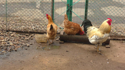 Rooster and chickens at the farm Live Action