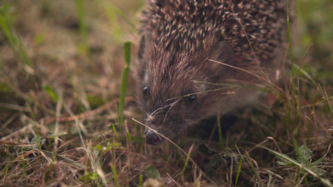 Hedgehog in the green grass walks. Hedgehog in the wild in green grass Live Action