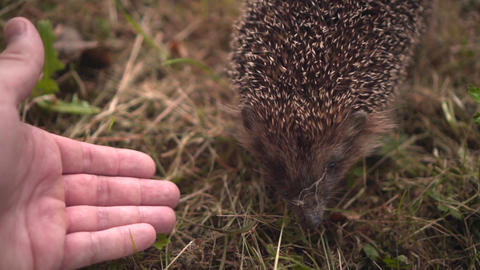 Hedgehog in the green grass walks and sniffs a man's hand. Hedgehog in the green Live Action