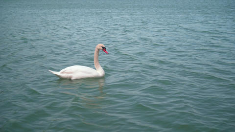 The average plan. A beautiful white swan swims in a beautiful turquoise lake Footage