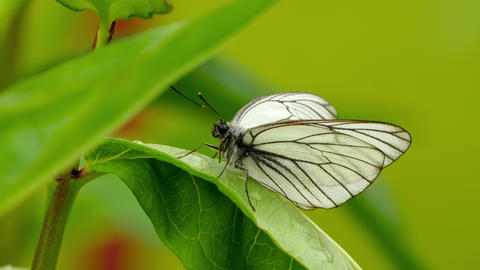 Aporia crataegi (Black-veined white butterfly) Footage