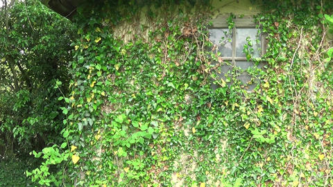 Plants on the wall and window of the old house Footage