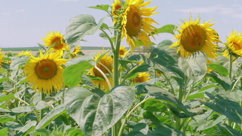 Field of sunflowers at summer day, good fortune concept Live Action