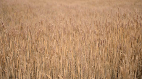 Wheat field that has reached a season of harvest - FIX Footage