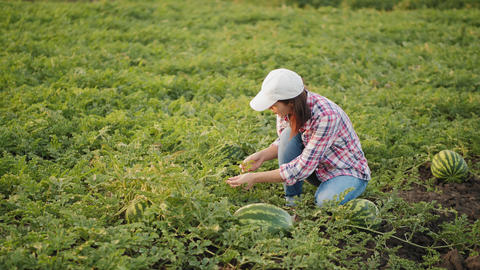 Woman inspecting watermelon crop at field Live Action