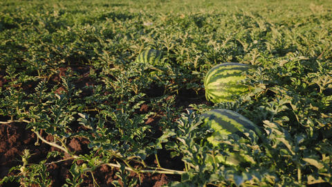 Organic watermelons on the ground Footage