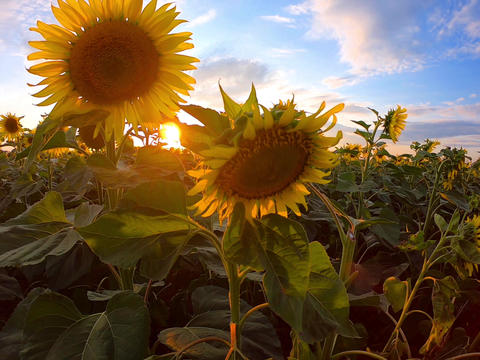 Field of blooming sunflowers at sunset, long life concept Footage