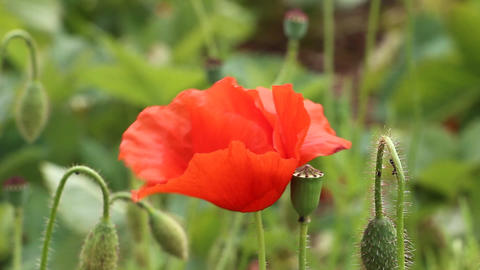 Blooming red poppy Footage