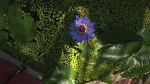 Violet Lotus Indoor Pond Round Leaves Reflection on Ceiling Stock Video Footage