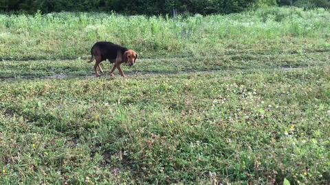Amusing young beagle female dog with long ears, playful puppy, chase and look Live Action