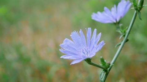 Blue Cichorium Flower in Field Footage