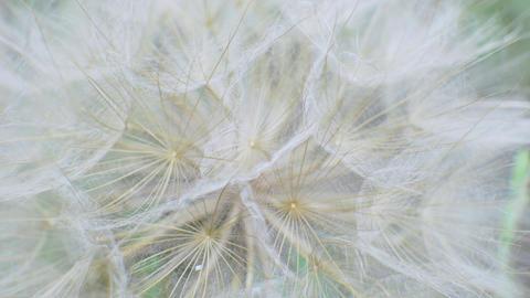 Fluffy Delicate Dandelion Seeds on Green Background in Field GIF