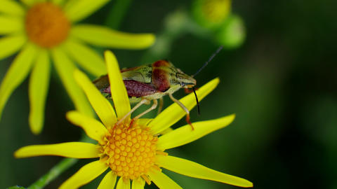 Red Green Bug Sits on Yellow Flowers in Wild Field Footage