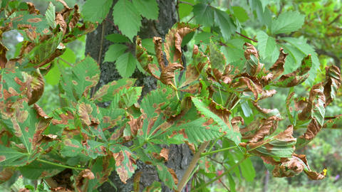 Brown Disease on Tree Leaf Footage