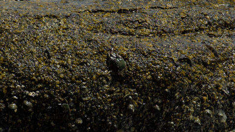 Crabs and rockskippers on the rock at the beach Footage