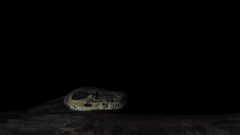 Boa Snake Keying 2 Live Action