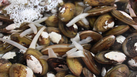 clam, sea mussels Footage