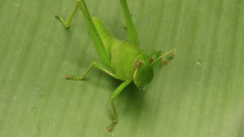 grasshopper on leaf Footage