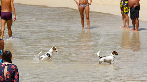 Jack Russell Terrier dogs on the beach Footage
