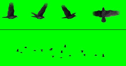 Flock of Birds - Crows CG動画
