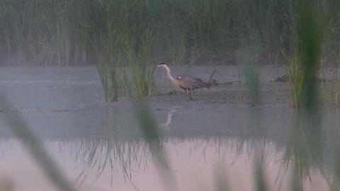 Stood motionless heron Footage