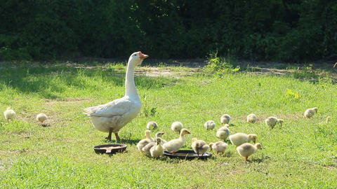 young goslings with goose on the grass Live Action