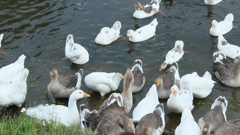 flight of domestic geese swimming on the water Footage