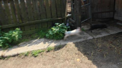 piglets run jolly on a farm Live Action