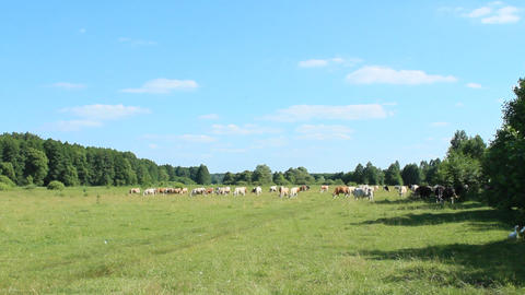 Cows graze in a pasture near the forest Footage